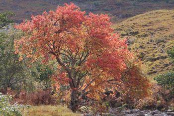 A mature Rowan tree